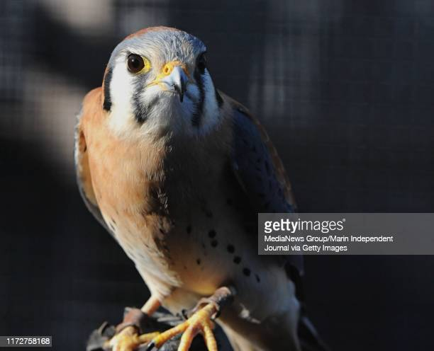 A kestrel makes a public appearance at WildCare in San Rafael Calif on Saturday Feb22 2014