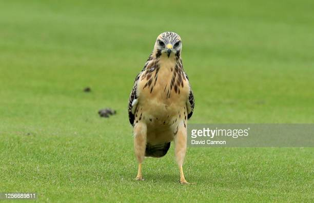 Kestrel on the golf course during The Rose Ladies Series at the JCB Golf and Country Club on July 16 2020 in Rocester Staffordshire