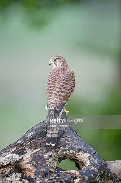 Kestrel (Falco tinnunculus) perched on branch, UK
