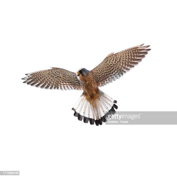 kestrel (falco tinnunculus) - hawk bird stock photos and pictures