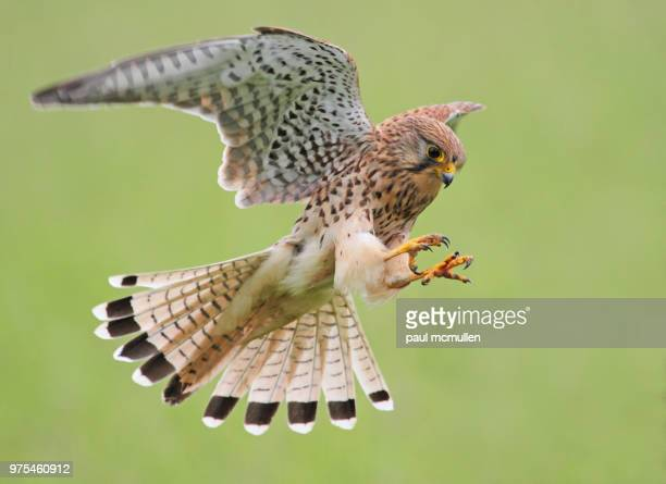 kestrel - birds_of_prey stock pictures, royalty-free photos & images