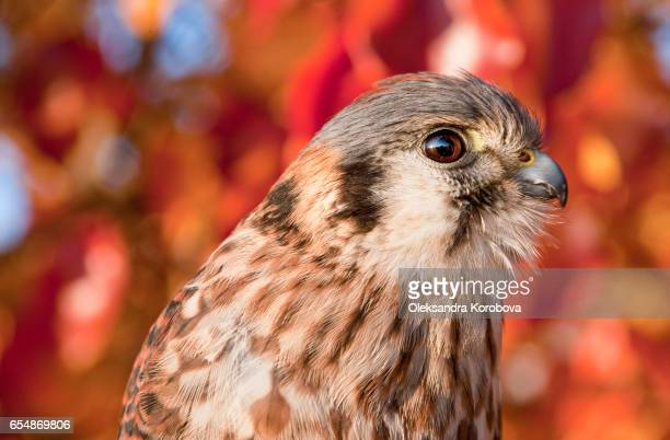 kestrel portrait with fall leaves in the background. - istock photos et images de collection