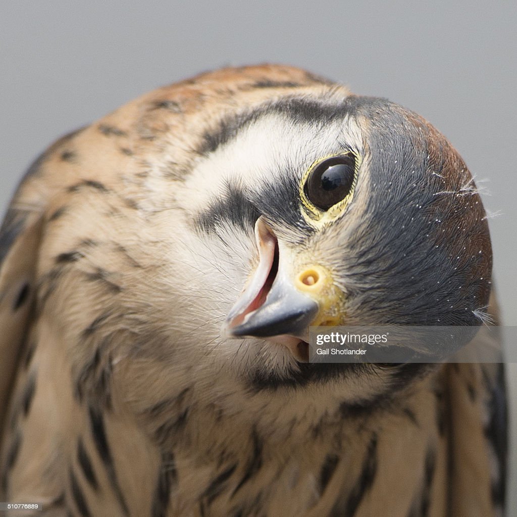 American kestrel (Falco sparverius) portrait in square format. The smallest in the bird of prey family, the Kestrel in the image has his head cocked, a behaviour to help determine sources of sound. The image also has a whimsical and humorous side with the head's posture.