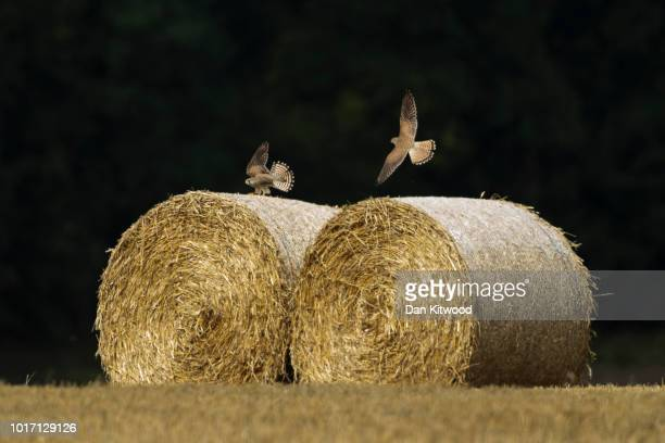 Kestrels squabble on top of Hay bales in a field on August 15 2018 in Cudham England The National Farmers' Union has warned that Britain would 'run...