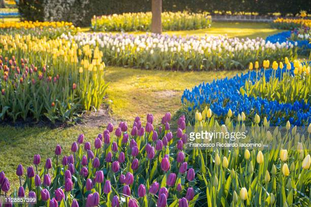 keukenhof gardens, tulips and flowers in springtime - iacomino netherlands foto e immagini stock