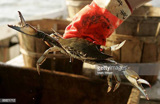 Kevin Doane aboard the commercial crabbing boat Foxy Roxy holds a Blue Crabs while crabbing on the Chesapeake Bay August 3 2005 in Chesapeake Beach...