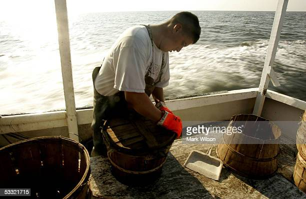 Kevin Doane aboard the commercial crabbing boat Foxy Roxy puts the top on a new bushell of Blue Crabs while crabbing on the Chesapeake Bay August 3...