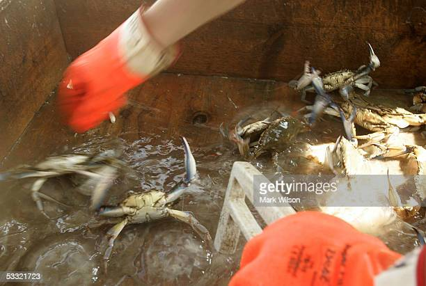 Kevin Doane aboard the commercial crabbing boat Foxy Roxy reaches for a Blue Crab to measure to see if it is legal size to keep while crabbing on the...