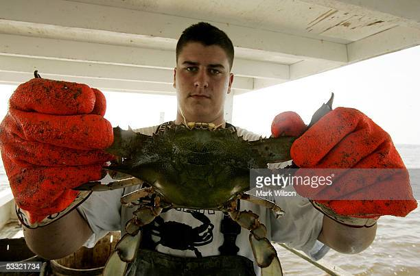 Kevin Doane' holds up a Maryland Blue Crab whille crabbing aboard the commercial crabbing boat Foxy Roxyon the Chesapeake Bay August 3 2005 in...