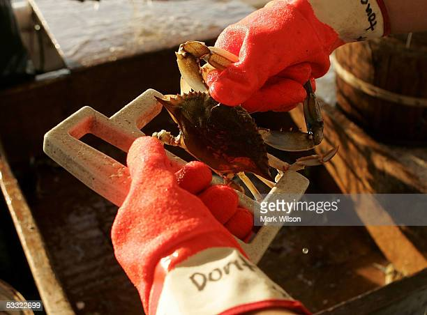 Kevin Doane uses a tool to measure the legal size limit of Maryland Blue Crabs aboard the commercial crabbing boat Foxy Roxyon the Chesapeake Bay...