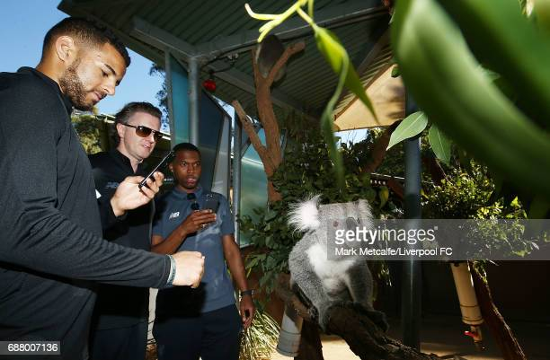 Kevin Stewart Steve McManaman and Daniel Sturridge view a koala during a Liverpool FC player visit to Taronga Zoo on May 25 2017 in Sydney Australia