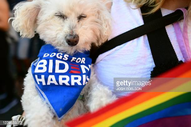 Kevin the dog sleeps while wearing a dogs for Biden bandana as people celebrate Joe Biden being elected President of the United States in the Castro...