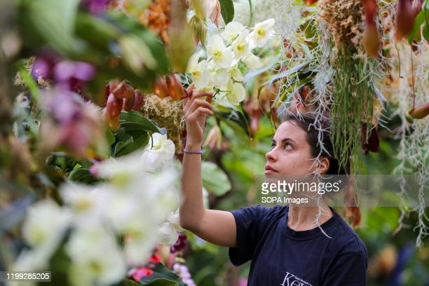 Kew apprentice Alice McKeever applies the final touch to 'Nepenthes tobacco' Orchids during a press preview of the 25th Kew Orchid Festival at Kew...
