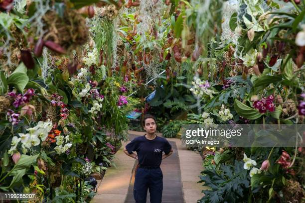 Kew apprentice Alice McKeever looks at 'Nepenthes tobacco' during a press preview of the 25th Kew Orchid Festival at Kew Royal Botanical Gardens This...
