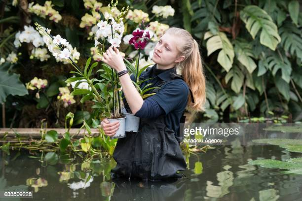Kew Diploma student Alisa Kemp makes final preparations to orchid display at the Kew Garden Orchid Festival in London England on February 02 2017 The...