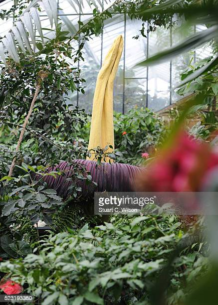 Kew Garden's Titan Arum also know as The Big Stink due to its repulsive odour is in rare full bloom at Kew Gardens on April 22 2016 in London England...
