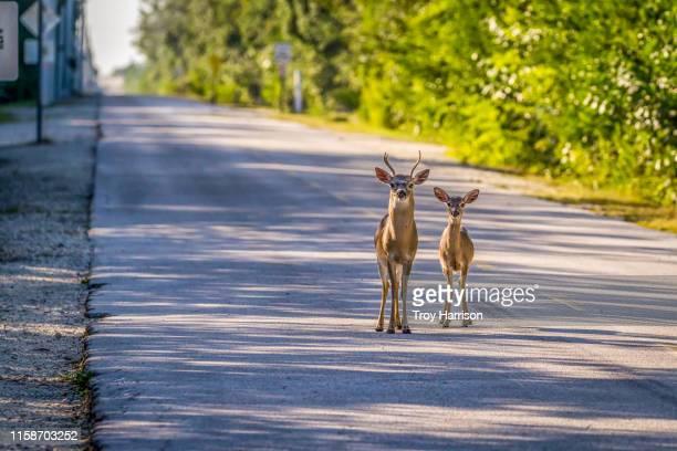 key deer on local street in big pine key, florida - florida keys photos et images de collection