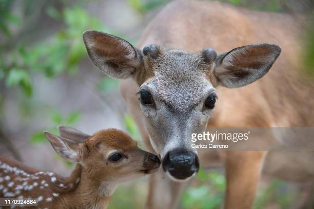 key deer tender moment - florida keys stock pictures, royalty-free photos & images