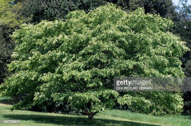 Keyaki or Japanese Zelkova Ulmaceae