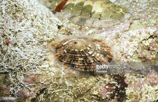 Keyhole limpet Diodora lineata on the underside of a rock Sydney New South Wales Australia