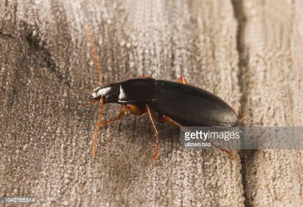 Käfer Laufkäfer Carabidae Calathus micropterus Kleiner Kahnläufer Kreiselkäfer Breithalsläufer Insekt Insekten Tier Tiere Naturschutz geschützte Art...