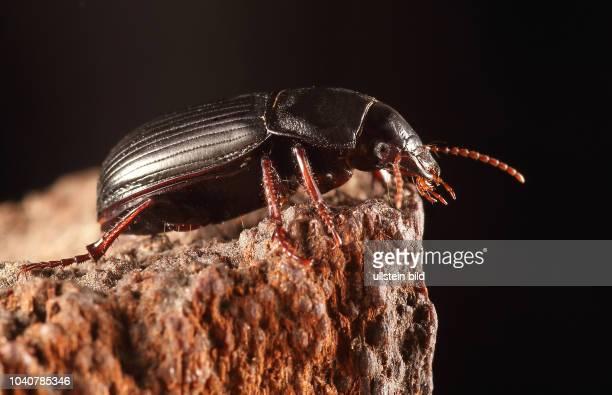Käfer Laufkäfer Carabidae Getreidelaufkäfer Zabrus tenebrioides Insekt Insekten Tier Tiere Naturschutz geschützte Art Macroaufnahme Makroaufnahme...
