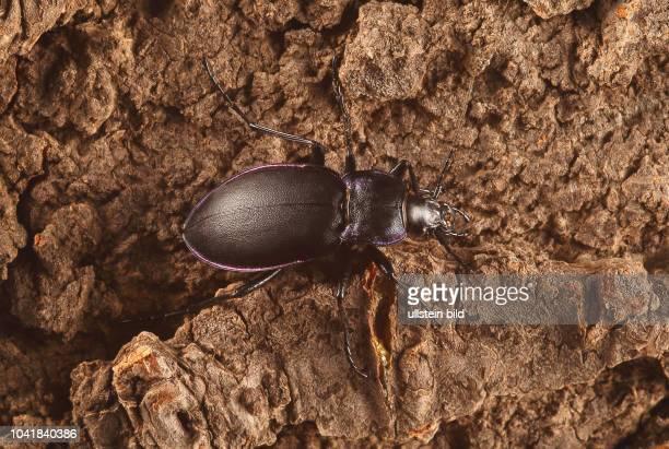Käfer Laufkäfer Carabidae Goldleiste Violetter Laufkäfer oder Violettrandiger Laufkäfer Carabus violaceus Insekt Insekten Tier Tiere Naturschutz...