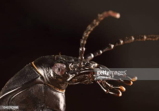 Käfer Laufkäfer Carabidae Lederlaufkäfer Carabus coriaceus Leder-Laufkäfer Insekt Insekten Tier Tiere Naturschutz geschützte Art Macroaufnahme...