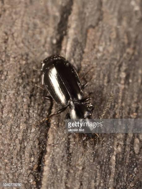 Käfer Laufkäfer Carabidae Microlestes minutulus Gewöhnlicher Stutzläufer Insekt Insekten Tier Tiere Naturschutz geschützte Art Macroaufnahme...