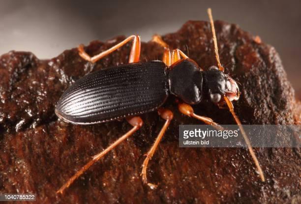 Käfer Laufkäfer Carabidae Rotrandiger Bartläufer Leistus rufomarginatus Insekt Insekten Tier Tiere Naturschutz geschützte Art Macroaufnahme...