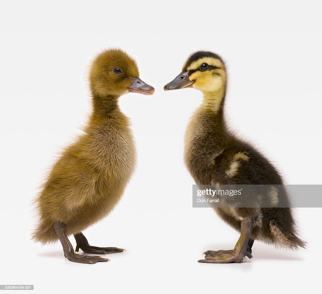 Khaki Campbell Duckling And Mallard Duckling Face To Face