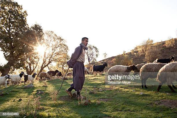 Khalid a shepherd takes his flock of sheep and goats out in the morning in the mountains near the Iranian border