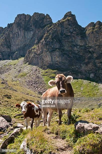 Kühe am Ramsjoch bei Lanersbach in den Tuxer Alpen in Tirol in Österreich