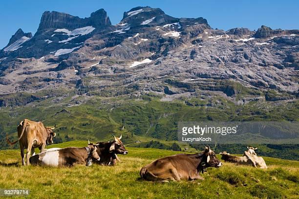 Kühe Auf der Sommeralp