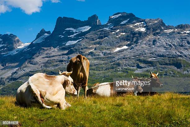 kühe auf der sommeralp - lucyna koch stock-fotos und bilder