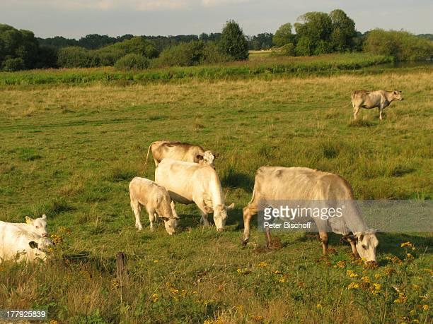Kühe HammeNiederung Worpswede Teufelsmoor Niedersachsen Deutschland Europa Künstlerkolonie Künstlerdorf Landschaft Wiese Wiesen Kuh Tier Reise