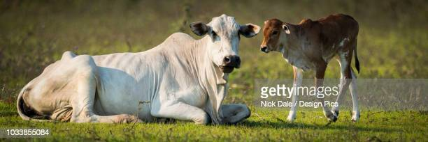 khillari cattle (bos indicus) cow and calf looking towards camera, pantanal - mato grosso state stock pictures, royalty-free photos & images