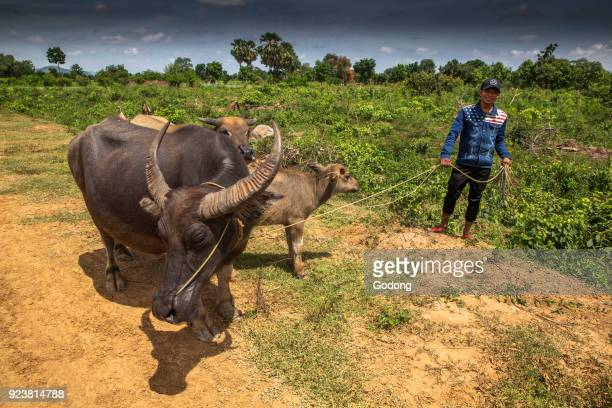 Khmer farmer with cattle Cambodia