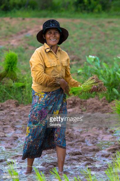 Khmer farmer working in a rice field Battambang Cambodia
