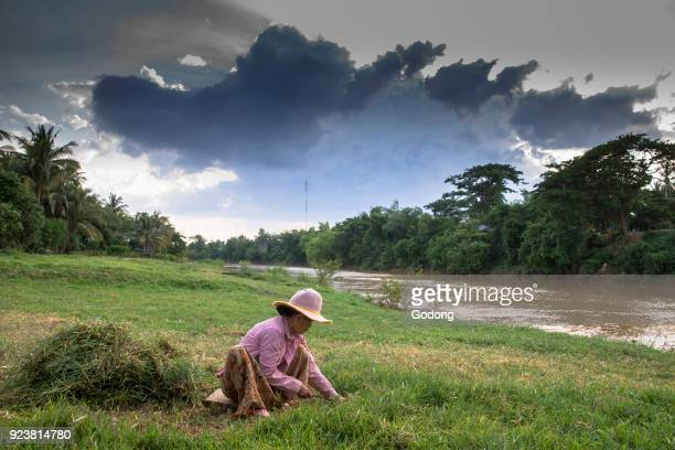 Khmer woman cutting grass on a bank of the Sangke river Cambodia