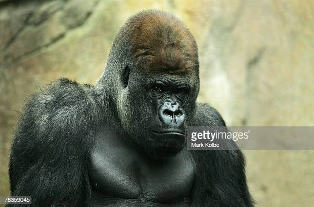 Kibabu the silverback keeps a watchful eye on surroundings as the media cover the exhibit reopening after the birth of a male infant who is the...