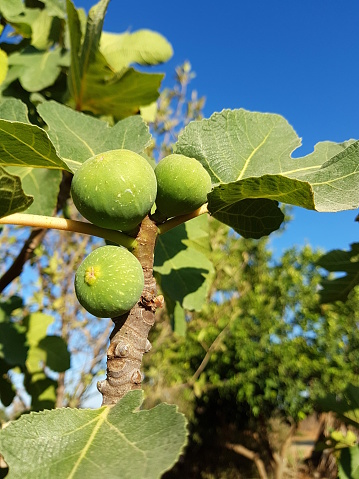 Kibbutz sustainable lifestyle, Close-up of organic figs on fig tree - gettyimageskorea