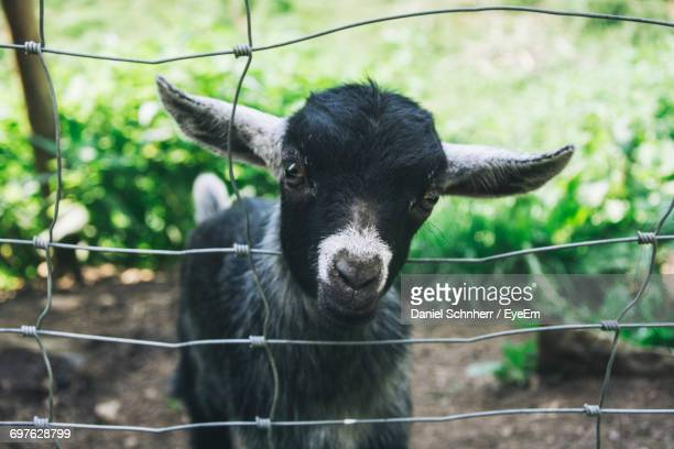 Kid Goat By Metal Fence On Field