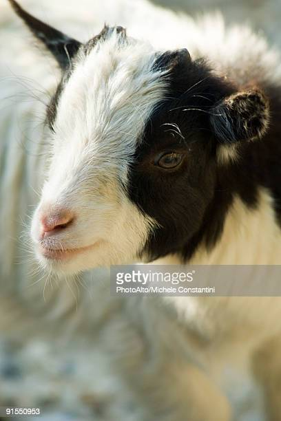 Kid goat, close-up