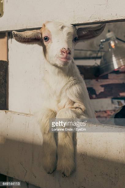 Kid Goat Leaning On Fence