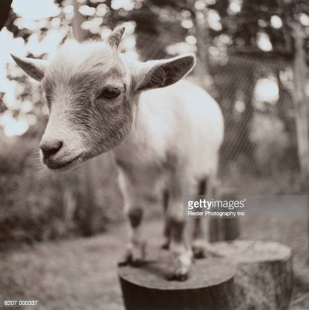 Kid Goat on Tree Stump
