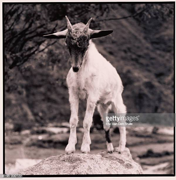 kid goat - eric van den brulle stock pictures, royalty-free photos & images
