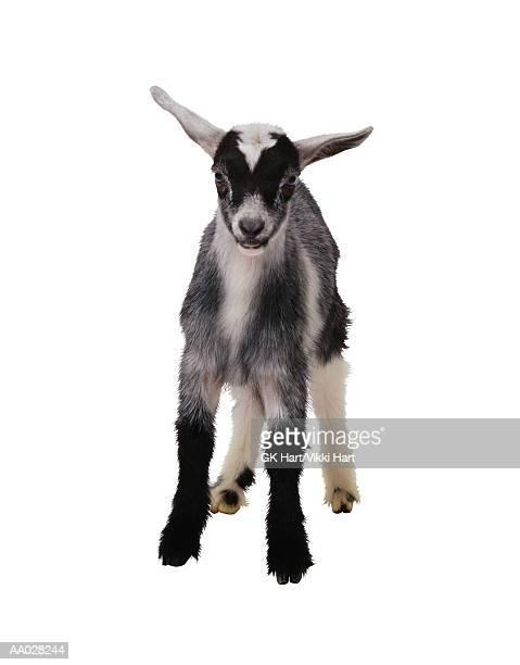 Kid Goat