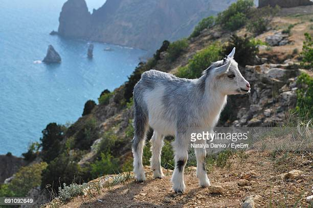 Kid Goat Standing On Cliff Against Sea