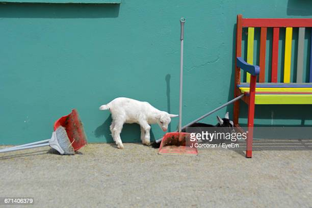 Kid Goats By Bench Against Wall